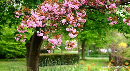 Fond décran animé Arbres en fleurs